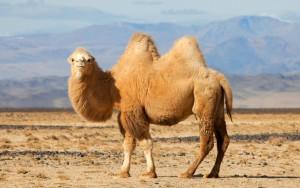 En tvåpucklig kamel, här i sin naturliga miljö.